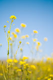 Field of Mustard and Blue Sky Stock Photography