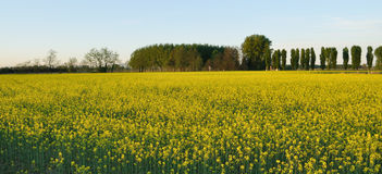 Field mustard (Brassica rapa) field Stock Photo