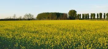 Free Field Mustard (Brassica Rapa) Field Stock Photo - 19856780