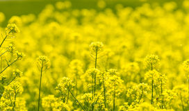Field Mustard Royalty Free Stock Image