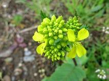 Field Mustard or Charlock (Sinapis arvensis) Stock Photo