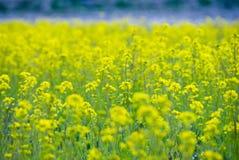Field mustard farm Royalty Free Stock Image