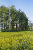 Field of mustard flowers in full bloom. Stock Photography