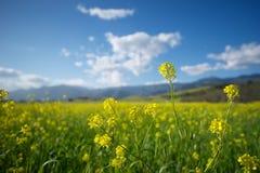 Field of Mustard Plants Stock Photos
