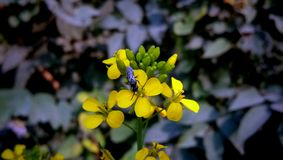 Field Mustard, Mustard Yellow Flower. Mustard plant is a plant species in the genera Brassica and Sinapis in the family Brassicaceae. Mustard seed is used as a stock photography