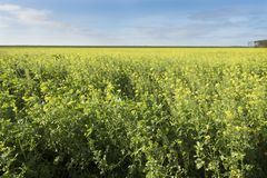 Field of mustard seed and blue sky in dutch province of flevoland Royalty Free Stock Image