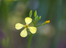 Field Mustard or Wild Turnip (Brassica rapa). Closeup photo of a field mustard wild flower royalty free stock images