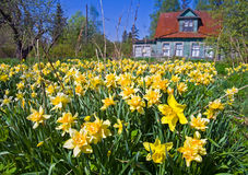Field of narcissus flowers. Abandoned field of narcissus flowers with old classical summer cottage in the background Royalty Free Stock Photography