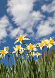 Field of narcissus flowers Royalty Free Stock Image