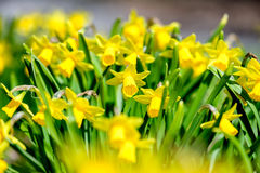 Field of Narcissus Stock Photo