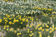 Field of narcissuses. Stock Photos