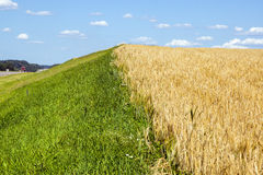 The field of natural ripe wheat Royalty Free Stock Image