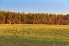 Field near  forest. Green-yellow field near the yellow forest in autumn Stock Photography