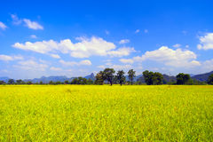 The field near Thathek. Laos. Royalty Free Stock Photo