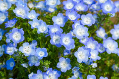 Field of Nemophila, or baby blue eyes Stock Images