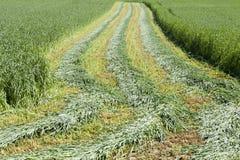 Field of new corn Royalty Free Stock Photos