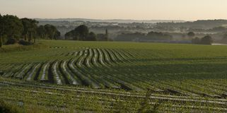 Field of newly planted Maize for cattle feed stock images