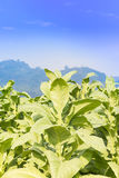 Field Nicotiana tabacum Royalty Free Stock Photography