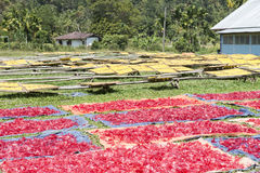 Field with noodles drying in the sun. Sumatra Royalty Free Stock Image