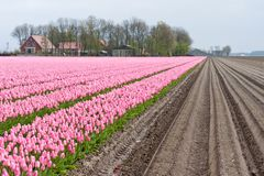 Field with numerous purple tulips Stock Images