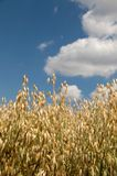 Field of oat . Stock Photos