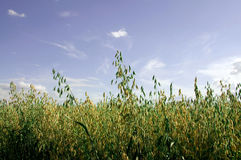 The field of oat. Stock Photo