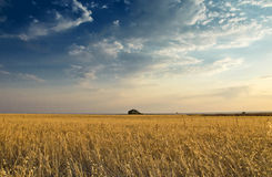 Field of oat Royalty Free Stock Photos