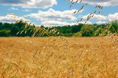 Field of oat. Landscape of field of oat Stock Photography
