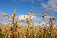 Field oat Royalty Free Stock Photo
