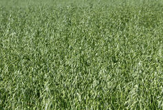 Field of oat. Stock Image