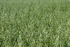 Field of oat. Stock Image
