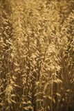 Field of oat plants in Tuscany, Italy. Stock Images