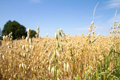 Field of oat. On a summer day Royalty Free Stock Photography