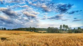 Field. Oatfield in mikkeli, finland Royalty Free Stock Photo