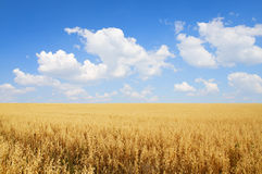 Field of oats Stock Image