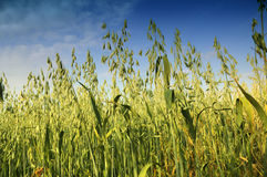 Field of oats Stock Photo