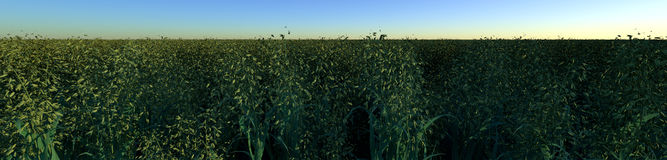 Field of Oats. Oats as far as the eye can see Royalty Free Stock Images