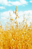 Field with oats golden color Royalty Free Stock Image