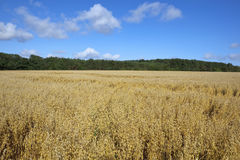 Field of oats Stock Photography