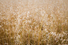 Field of oats Royalty Free Stock Photos