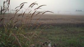Field of Oats, Morning Mist 4K UHD. A dolly shot of a field of oats on a misty morning. 4K UHD stock video footage