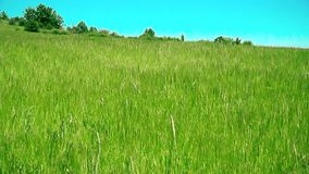 Field oats in summer time. This is of field oats recorded in village Ostrelj near of city Bor in summer time stock video