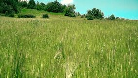 Field oats in summer time. This is of field oats recorded in village Ostrelj near of city Bor in summer time stock footage