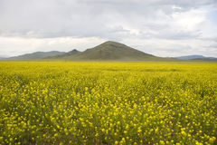 Free Field Of A Yellow Grass. Stock Photos - 11513003