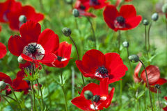 Free Field Of Anemones Stock Image - 18641511