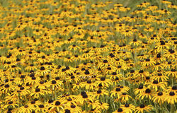 Free Field Of Black Eyed Susan Royalty Free Stock Photo - 94256935