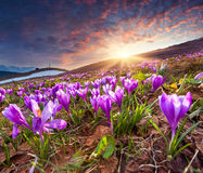 Field Of Blooming Crocuses In The Spring Royalty Free Stock Photo