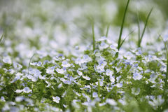 Free Field Of Blue Small Wild Veronica Persica Forget-me-not Spring Stock Photos - 92747053