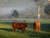 Field Of Cattle At Dawn Royalty Free Stock Photos