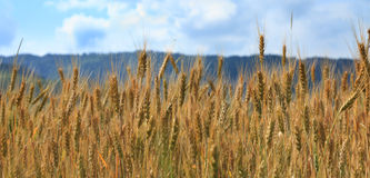 Field Of Cereals Royalty Free Stock Photo